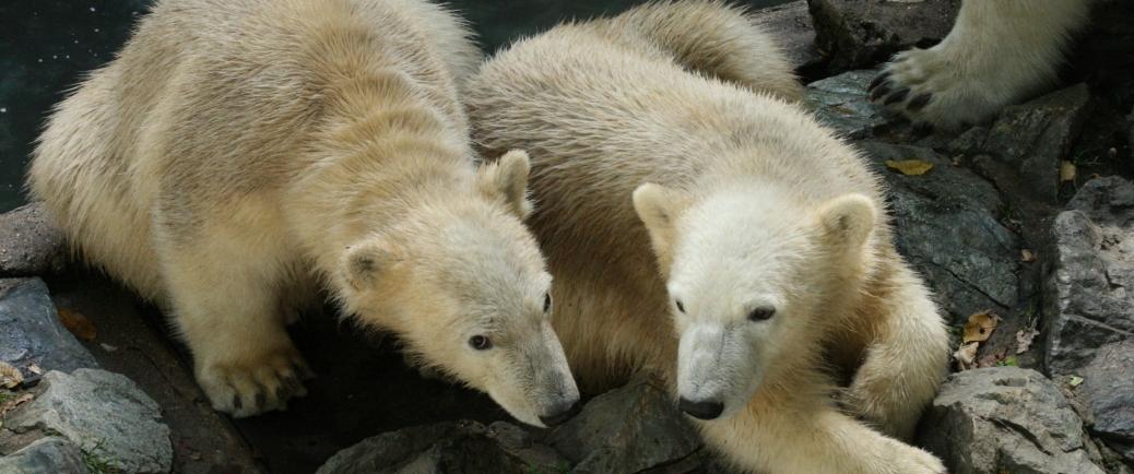 Přímý přenos z porodního boxu ledních medvědů