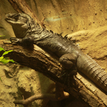 Utila Spiny-tailed Iguana