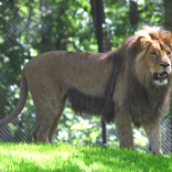 Lvi se vrátili do Zoo Brno 26. 8. 2017