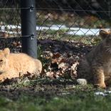 Lion Cubs 8. 3. 2018