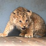 Lion Cubs 26. 2. 2018