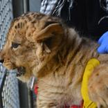 Lion Cubs 12. 2. 2018