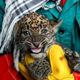Sri Lankan Leopard Cubs 5. 1. 2018