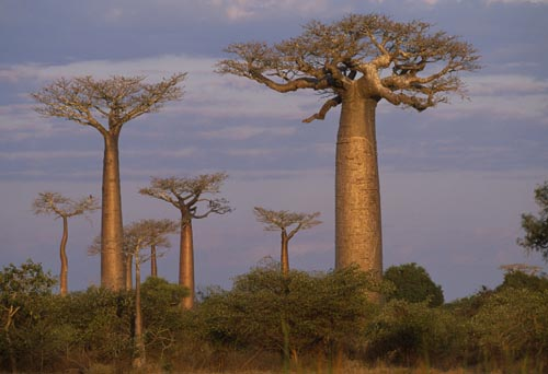 Baobaby (Adansonia sp.) Foto Nick Garbutt