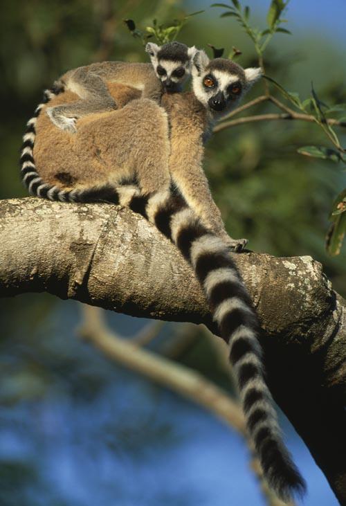 Lemur kata (Lemur catta) Foto Nick Garbutt