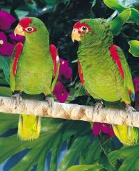 Pár Amazoňanů (Amazona pretrei)