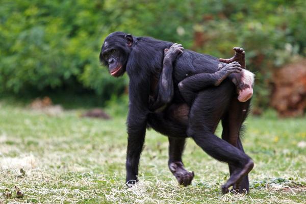 Bonobo (Pan paniscus) ©Tomasz Rusek