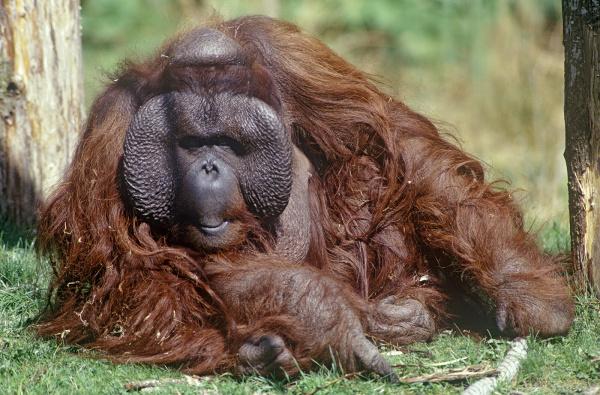 Orangutan bornejský (Pongo pygmaeus) ©Istvan Vidakovits