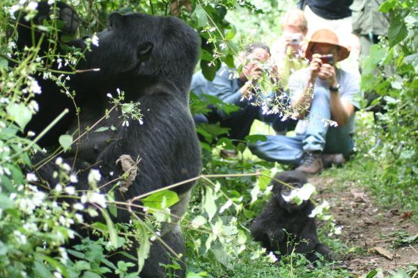 Turisté vtěsné blízkosti goril horských ©Keetie de Koeijere