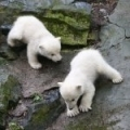 Mláďata medvědů ledních 1