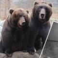 Narodila se mláďata medvěda kamčatského