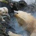Polar Bear Cora
