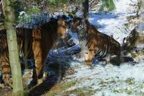 Expozice tygrů sumaterských spojena