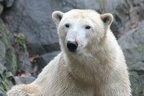 Novinky u ledních medvědů
