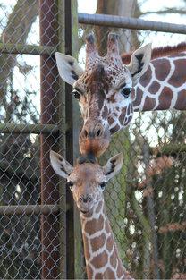 Žirafí slečna dostala jméno Zarafa