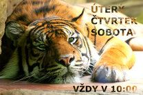 Komentovaná krmení u tygrů