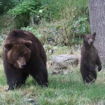 Mládě medvěda kamčatského