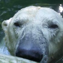 Polar Bear Umca