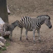 Foal of Chapman´s Zebra