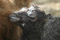 Mládě velblouda dvouhrbého