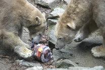 Polar Bears 25. - 27. 2. 2017