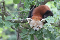 Opening of the New Exhibit for Red Pandas 6. 6. 2015