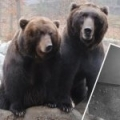 Cubs of Kamchatka Brown Bear