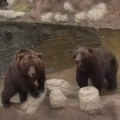 Chipping of bear cubs