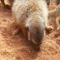 Meerkats having lunch