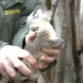 Chipping of South American Coati