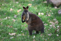 Swamp Wallaby 12. 4. 2017