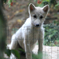 Arctic Wolf Cub