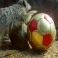 Meerkats playing football