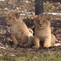 Lvíčata na procházce