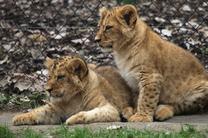 V neděli 8. 4. prozradíme jména lvíčat