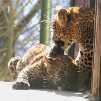 Sri Lankan Leopard Cubs