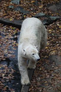 Uzavření cesty k ledním medvědům