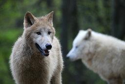 Vlci arktičtí 12. 4. 2017