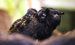 Narození tamarínů žlutorukých
