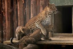 Křest levhartů cejlonských