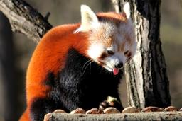 Red Panda 29. 1. 2018
