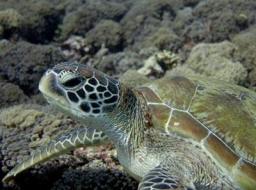 Kura Kura – Turtles in Danger