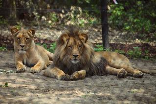 Lvi se vracejí
