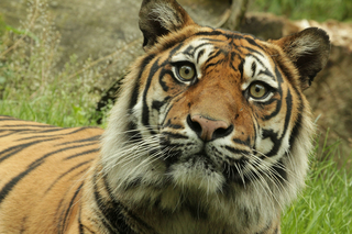 International Tiger Day
