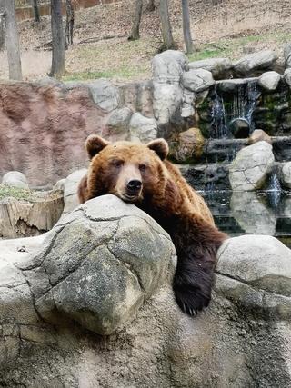 Obývákové komentované krmení u medvědice kamčatské