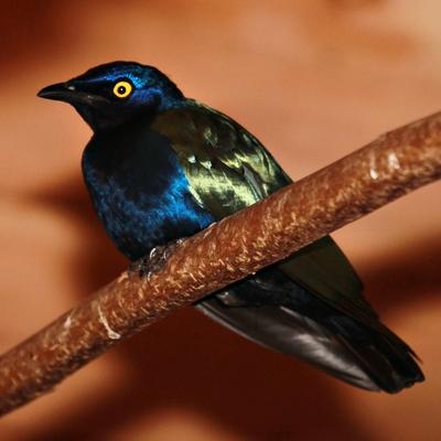 Purple Glossy-starling