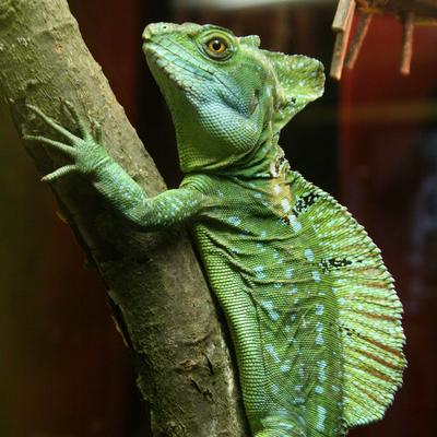 Green Crested Basilisk
