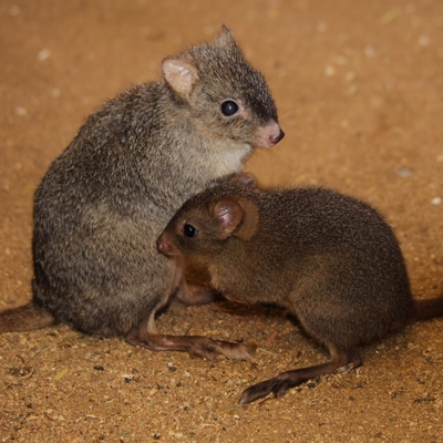 Woylie (Brush-tailed Bettong)