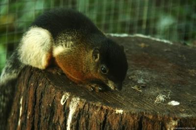 Prevost´s Squirrel