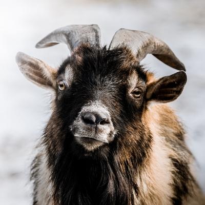 Koza domácí - kamerunská